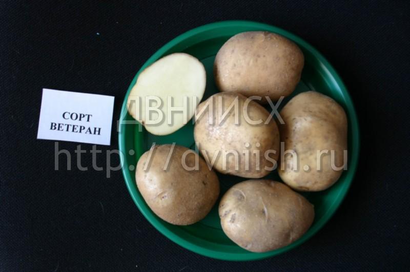 Картофель Ветеран