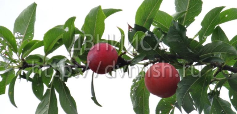 Слива Амурская роза