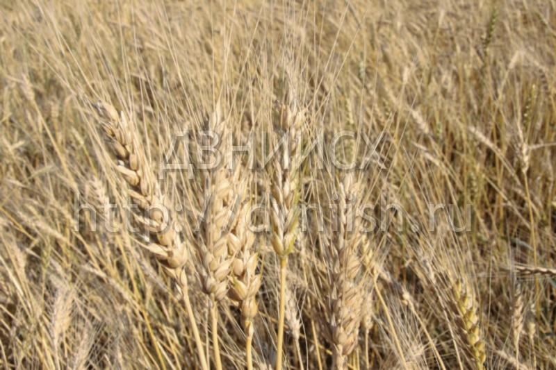Пшеница Зарянка